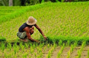 bali_rice_farmer_scaled
