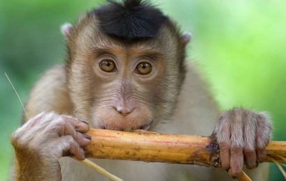 Macaque monkey photographed in Borneo. Symboblizes me or a travel agent.