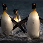 Penguins on the move.