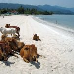 Cows on the beach in Langkawi, Malaysia.