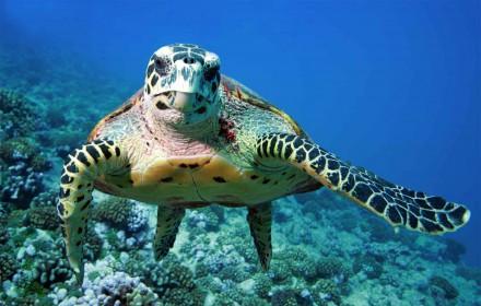 Sea Turtle in Malaysia.