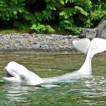 """The dolphin """"Beluga"""" at Vancouver Aquarium. Strange name for a dolphin btw!"""