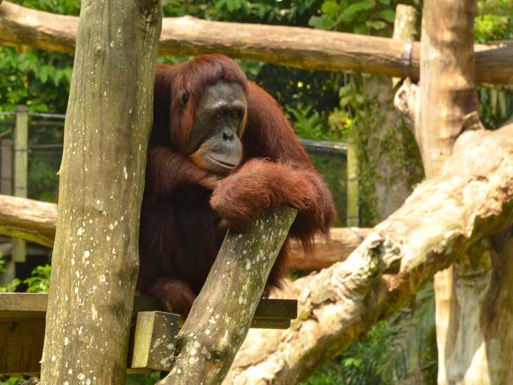 Orangutan at Singapore Zoo.