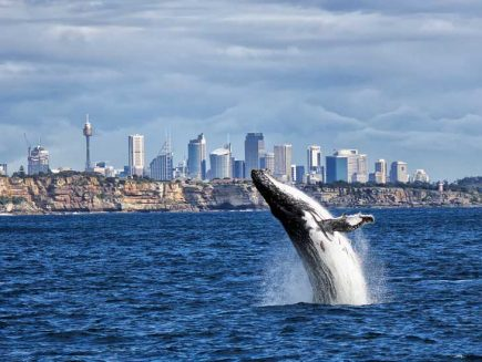 Whale watching in Sydney, Australia.