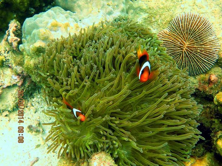 Clown Fish on Anemone Reef, not far from Kingcruiser Wreck in Phuket.