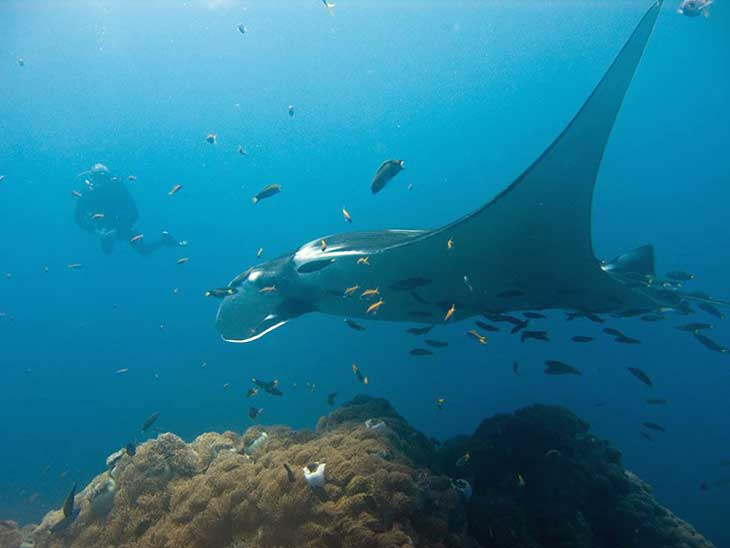 Manta Rays can be seen at Hin Daeng and Hin Muang, off Phuket.