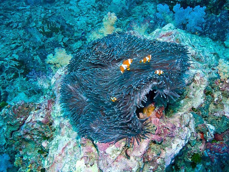Coral and Clown Fish just off the coast of Phuket, Thailand.