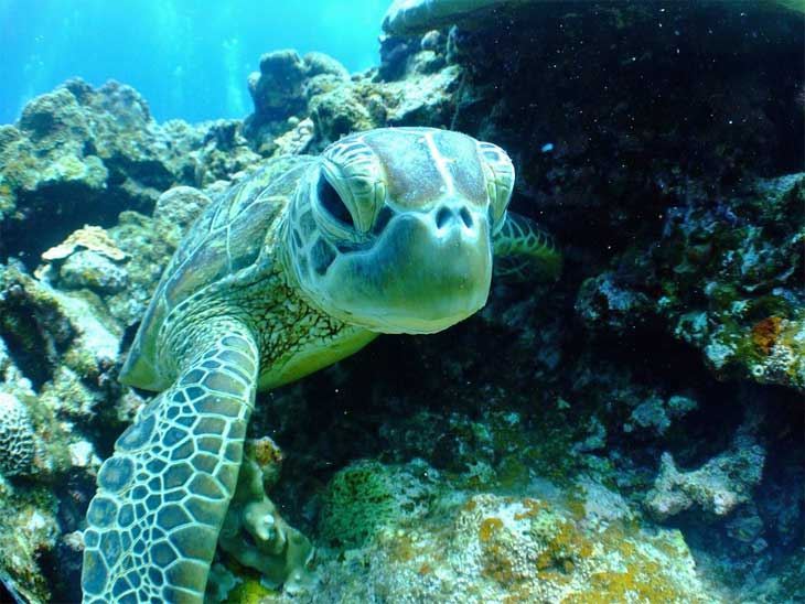 Sea turtle at Lankayan Island in Malaysia.